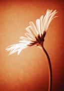 Argyranthemum, Daisy by Nic Miller