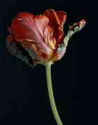 Tulipa 'Bird of Paradise', Tulip - Parrot tulip by Richard Freestone