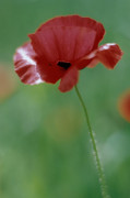 Papaver rhoeas, Poppy by Richard Freestone