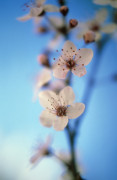 Prunus dulcis, Almond by Rob Matheson