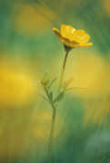 Ranunculus acris, Buttercup by Rob Matheson