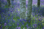 Hyacinthoides non-scripta, Bluebell wood by Rob Matheson
