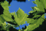 Vitis vinifera, Grapevine by Steve Shipman