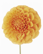 Dahlia 'Davenport Honey', Dahlia by Tim Smith