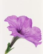 Petunia, Petunia by Tim Smith
