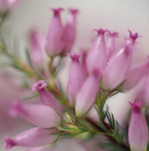 Erica Winter heather Spring heath Bell heather