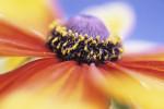 Rudbeckia hirta, Coneflower black-eyed Susan by Victoria Gomez