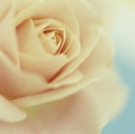 Rosa, Rose by Victoria Gomez