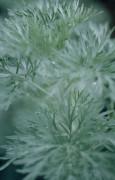 Artemisia 'Powis Castle', Wormwood by Victoria Gomez
