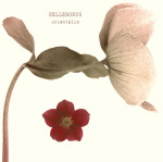 Hellebore I by Katja Marzahn