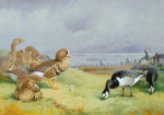 Barnacle Geese by Archibald Thorburn