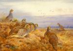 English Partridges by Archibald Thorburn