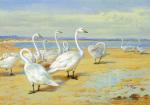 Whooper Swan by Archibald Thorburn