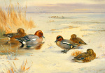 Wigeon and Teal by Archibald Thorburn