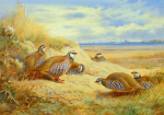 French Partridges by Archibald Thorburn