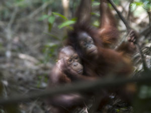 Orangutan Babies by Assaf Frank