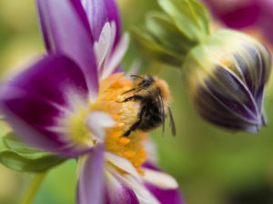 Bee on a Flower by Assaf Frank