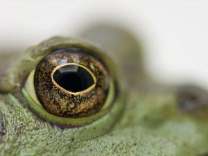 A Lucky Frog - Eye by Assaf Frank