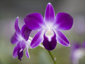 Purple Orchid by Assaf Frank