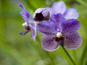 Lavender Purple Orchid by Assaf Frank