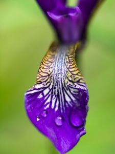 Iris Water Drops by Assaf Frank