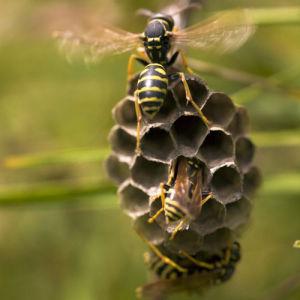 Wasps by Assaf Frank