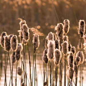 Reeds Back Light by Assaf Frank
