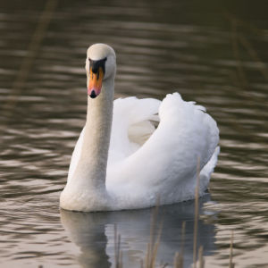 Swan by Assaf Frank