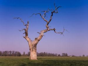 Dead Oak Tree in Windsor Park by Assaf Frank