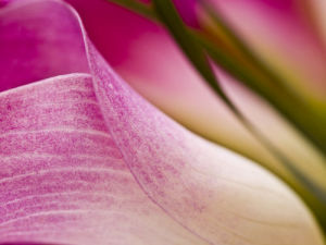 Pink Lily by Assaf Frank