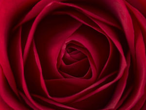 Close-up of red rose, full frame by Assaf Frank