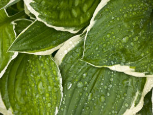 Water drops on Hosta leaves, full frame by Assaf Frank