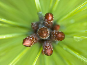 Pine shoots close-up full frame by Assaf Frank