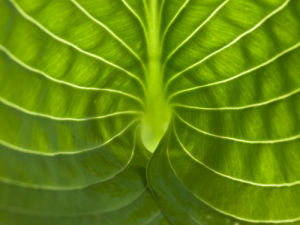 Extreme close-up of hosta leaf, full frame by Assaf Frank