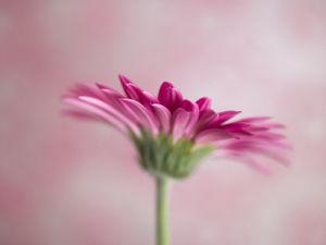 Pink Gerbera daisy by Assaf Frank