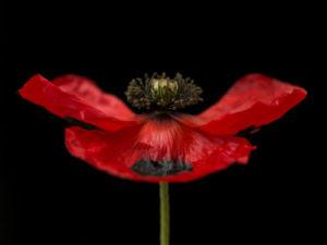 Red poppy, close-up by Assaf Frank