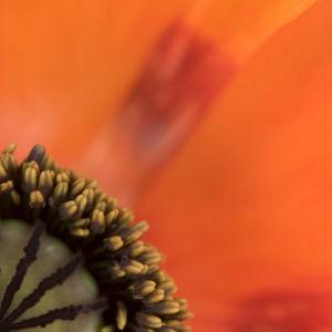 Stigma of oriental poppy, close-up by Assaf Frank