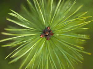 Pine shoots close-up by Assaf Frank