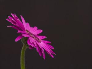 Pink Gerber Daisy by Assaf Frank