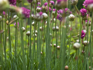 Close-up of armeria maritima flowers by Assaf Frank