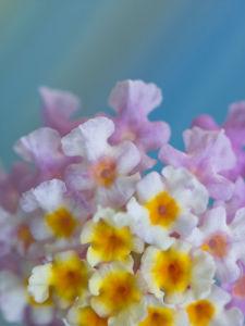 Lantana Camara flower close-up by Assaf Frank