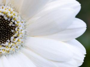 Close-up of white gerbera by Assaf Frank