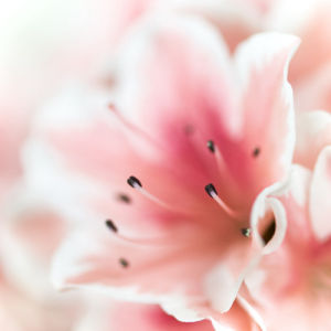Close-up of azalea flower by Assaf Frank
