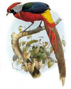 Hybrid Pheasant by Joseph Wolfe