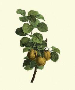 Apricots by Pancrace Bessa