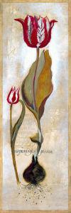 Tulipa Violoncello III by Joseph Augustine Grassia