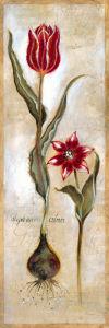Tulipa Violoncello IV by Joseph Augustine Grassia