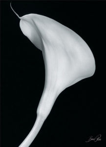Arum Lily II by Bruce Rae