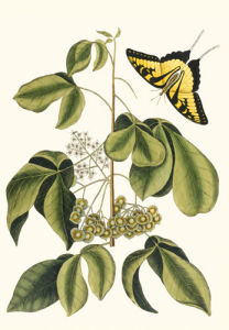 Papilio Antilochus by Mark Catesby