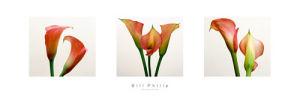 Three Lilies by Bill Philip